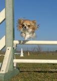 Jumping chihuahua Stock Photography