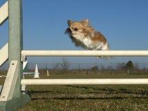Jumping chihuahua Royalty Free Stock Photography