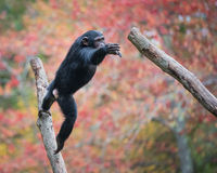 Jumping Chimp. Young Chimpanzee Jumping From Tree Branch stock image