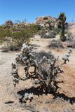 Jumping Cholla Stock Image