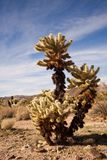 Jumping Cholla Cactus Stock Photography