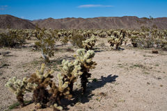 Jumping Cholla Cactus Field. In Joshua Tree National Park, California Stock Photography
