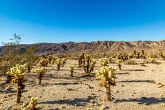 Jumping Cholla Cactus Stock Image
