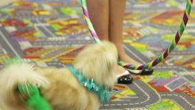Jumping circus dog. White dog jumping through a ring stock video