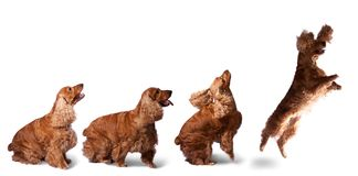 Jumping cocker spaniel. English cocker spaniel isolated over white background royalty free stock photography