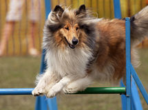 Jumping collie Stock Photos