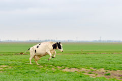 Jumping cow. Cow is jumping in green meadow royalty free stock image
