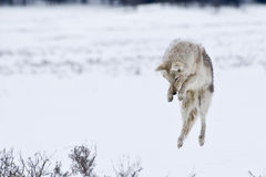 Jumping Coyote. Coyote prepares to dive into the snow in search of prey Royalty Free Stock Photo