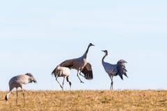 Jumping Crane Stock Image