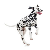 Jumping Dalmatian dog isolated. On white Royalty Free Stock Photos