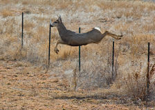Jumping Deer. Deer jumping over a wire fence in a Colorado field Stock Photo