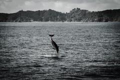 Jumping Delphin Stockbilder