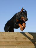 Jumping doberman. Jumping purebreed doberman dog and agility Royalty Free Stock Image