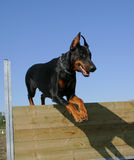 Jumping doberman doberman. Beautiful purebred doberman pinsher: jumping watching dog Stock Images