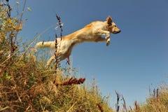 Jumping dog Stock Image