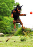 Jumping dog. Beautiful outdoor photography Royalty Free Stock Photos