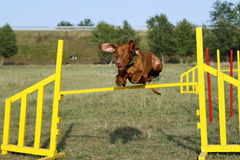 Jumping dog. Dog jumping over a jump in a agility contest Royalty Free Stock Photo