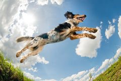 Jumping dog. Mix breed dog caught in the middle of a jump royalty free stock images