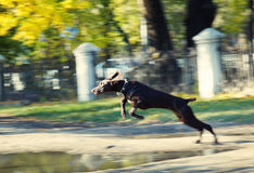 Jumping dog Stock Photos
