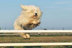 Jumping dog. Jumping purebred maltese dog in a training of agility stock images