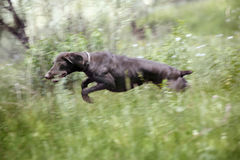 Jumping dog. Young German short haired pointer running and jumping in the field during hunting. Natural light and colors Stock Images