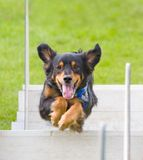 Jumping dog 2. A brown dog jumping over a pole in a fly ball competition Royalty Free Stock Images