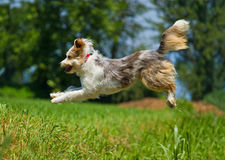 Jumping dog. In a park Royalty Free Stock Images