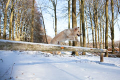 Jumping Dog Royalty Free Stock Image