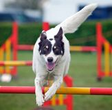 Jumping Dog. A very active dog jumping a hurdle having private agility training for an agility sport competition Royalty Free Stock Photography