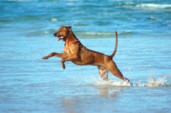 Jumping dog. A beautiful active wet African male Rhodesian Ridgeback hound dog with happy expression in the face playing wild by jumping and running fast in the Royalty Free Stock Images