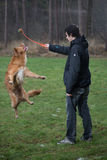 Jumping dog. Young man playing with retriever dog jumping to fetch a tennis ball Royalty Free Stock Photos