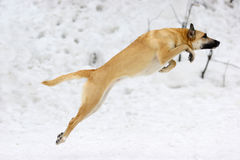 Jumping dog. On snow background Royalty Free Stock Image
