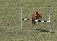 Jumping Dog. Dog jumping a bar Royalty Free Stock Photo