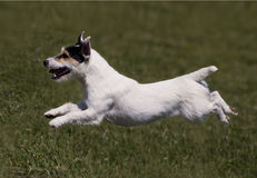 Jumping dog in the air Royalty Free Stock Images