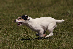 Jumping dog in the air Stock Image