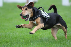 Jumping dog. The dog is jumping with the ball royalty free stock photo