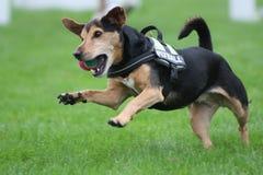 Jumping dog Royalty Free Stock Photo