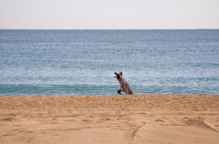 Jumping dog. In the beach stock photo