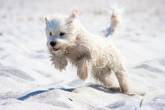 Jumping dog on the beach. A white puppy dog jumping happily on the beach's sand Stock Photos