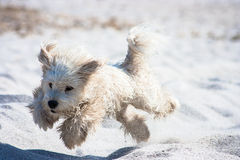 Jumping dog on the beach. A white puppy dog jumping happily on the beach's sand Royalty Free Stock Images
