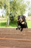 Jumping dog. Jumping black old dog over the barrier stock photo