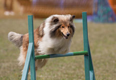 Jumping dog Royalty Free Stock Image