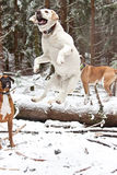 Jumping Dog. These dogs were having the time of their lives in the snow. This yellow lab jumps extremely high when she is waiting for a stick to be thrown Stock Image