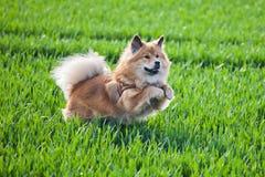 Jumping dog Royalty Free Stock Photography