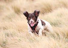 Jumping dog. Jumping English Springer Spaniel gun dog Stock Photos