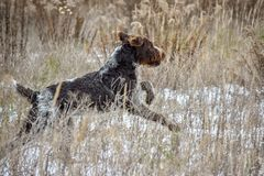 Jumping Dog. German wire haired pointer jump on the field. Hunting season royalty free stock images