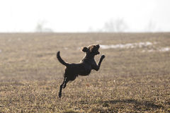 Jumping dog having fun in winter. Superdog stock photos