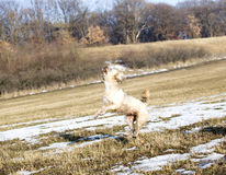 Jumping dog having fun in winter. Superdog royalty free stock photo
