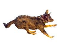 Jumping dog isolated on white background. Jumping dog isolated on white Royalty Free Stock Photos