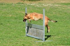 Jumping dog. A mixed breed athletic dog jumping a hurdle in a dog park outdoors Royalty Free Stock Images